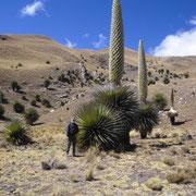 Puya Raimondi Pflanze