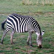 zebra Tsavo Est in2kenya safariwatamukenya