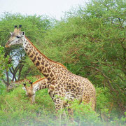 Giraffe Tsavo Est in2kenya