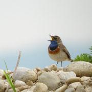 Blaukehlchen Foto: Georg Kaindl