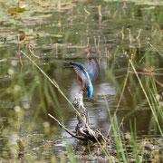 Junger Eisvogel                               Foto Gerald Puchberger