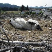 Vor der Beringung verfallen die Jungvögel in Akinese, sie stellen sich also tot.   Foto: Robert Gattringer