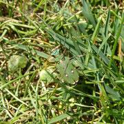 Sandlaufkäfer (Cicindelidae) im Rasen gut getarnt.