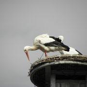 Das Weibchen beim Nest ausbessern                                      Foto: Robert Gattringer