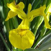 Wasser - Schwertlilie (Iris pseudacorus)
