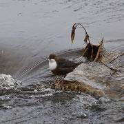 Wasseramsel in ihrem Element Foto Gerald Puchberger