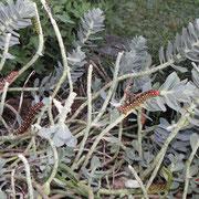 eine Menge junge und auch erwachsene Raupen des Wolfsmilchschwärmer    Foto: Robert Gattringer