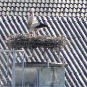 Ein junger Storch ist zu erkennen                                   Foto: Robert Gattringer