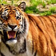 Der wilde, ungestüme Tiger