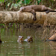 Riesenotter Familie © RAINFOREST EXPEDITIONS