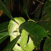 Giftgrüne Schlange auf unserer nächtlichen Dschungel-Exkursion