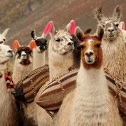 Lamas transportieren Ihr Gepäck auf dem Trekking © ANDEAN LODGES