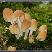 Gemeine Glimmertintlinge (Coprinus micaceus) wirken wie überzuckert und leben an Totholz, 21.09.2015, Darß/Mecklenburg-Vorpommern.