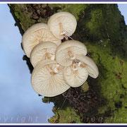 Buchen-Schleimrüblinge (Oudemansiella mucida) verzieren in sehr feuchten Herbstmonaten Holz in Bäumen und am Boden, 19.11.2016, Darß/Mecklenburg-Vorpommern.