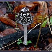 Der Spechtintling (Coprinus picaceus) ist ein hübscher, eher seltener Pilz im Darßwald, 25.11.2017, Darß/Mecklenburg-Vorpommern.