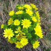 Adonisröschen kündigen den Frühling an