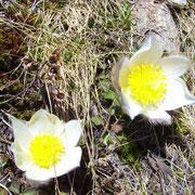 Gelb-weisses Blühwunder auf kargem Grund