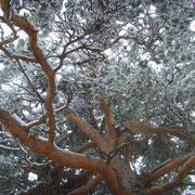 Kiefer im Winter