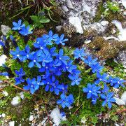 Blauer Enzian - ein Sommer in den Bergen