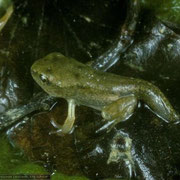 Поздняя стадия личинки. Photo Albert Krebs