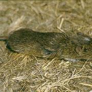 Photo © István Lőrincz www.carpathianbasinspecies.eu