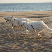 2 weisse Hunde rennen am Strand