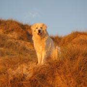 weisser Hund in den Dünen
