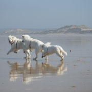 3 Slovensky Cuvac Hunde rennen am Strand