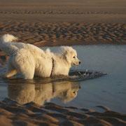 Weisser Hund im Wasser am Strand