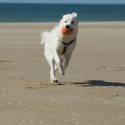 weisser Hund rennt am Strand mit Ball