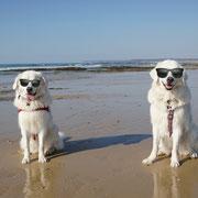 2 weisse Hunde sitzen am Strand mit Sonnenbrille
