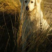 Hund sitz im Dünen Gras