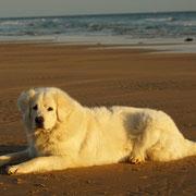 weisser Hund am Strand liegend