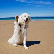 weisser Hund winkt am Strand