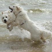2 weisse Hunde im Meer