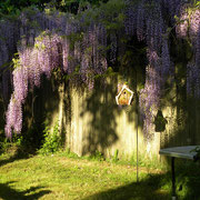 The wisteria which surrounds the Lanza bird house