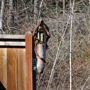 A Given Back suet feeder in Corvallis, Oregon, sent in by Will Smith