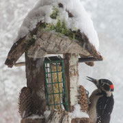 A Downy Woodpecker has a winter feast 2014