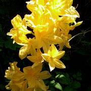 Our blooming Azalea specimen