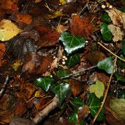 Marasmius bulliardii