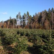 Ein Weihnachtsbaumfeld mitten im Wald. Harzer Tanne