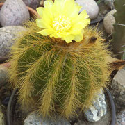 .. Kaktus
