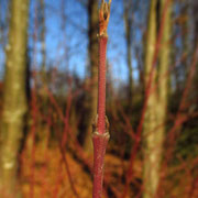 Roter Hartriegel (Cornus sanguinea) | Knospen