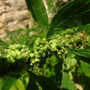Aufrecht-Glaskraut (Parietaria officinalis)