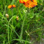 Orange-Habichtskraut (Hieracium aurantiacum)