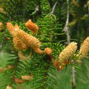 Gewöhnliche Fichte (Picea abies) | männliche Blüten