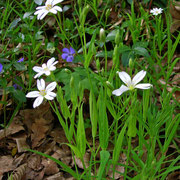 Groß-Sternmiere (Stellaria holostea)