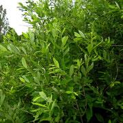 Asch-Weide (Salix cinerea)