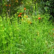 Sumpf-Schachtelhalm (Equisetum palustre)