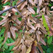 Edel-Hainbuche (Carpinus betulus) | Früchte